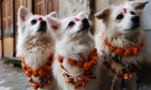dog celebration at tihar festival