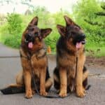 German-Shepherd-Training-Phoenix